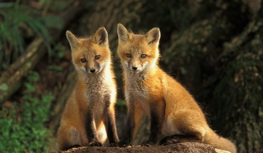 Animals cubs foxes HD wallpaper