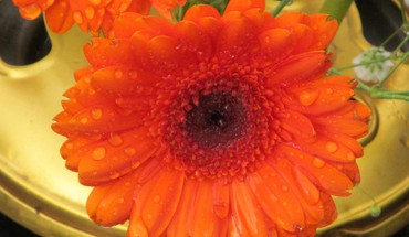 Tangerine gerbera  HD wallpaper