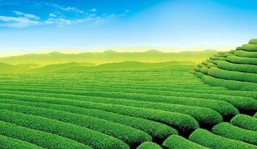 Beautiful tea garden HD wallpaper