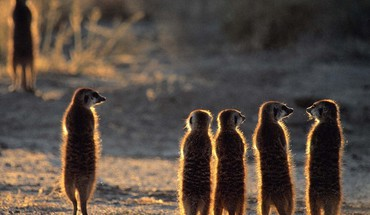 Animal world backlights meerkats HD wallpaper