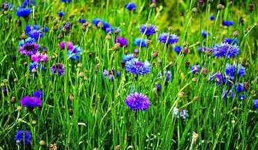 Cornflowers field HD wallpaper