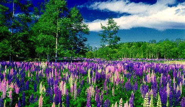 Lupin meadow HD wallpaper