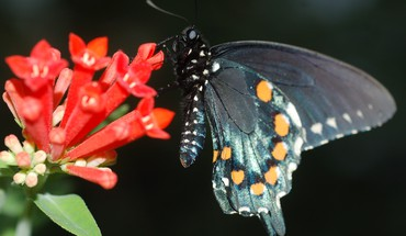 Pipevine swallowtail on butterfly HD wallpaper