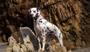 Animals beaches dalmatians dogs HD wallpaper