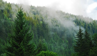 Fog over a pine forest HD wallpaper