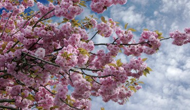 Blue skies cherry blossoms clouds flowers trees HD wallpaper