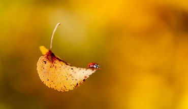 Ladybug on fall leaf HD wallpaper