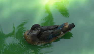 Animals birds ducks nature water HD wallpaper