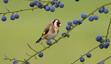 Berries goldfinch birds HD wallpaper
