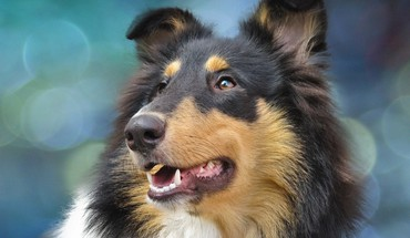 Collie  HD wallpaper