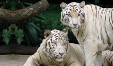 Bengal animals tigers white HD wallpaper