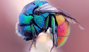 Hymenopthera insects iridescence macro multicolor HD wallpaper