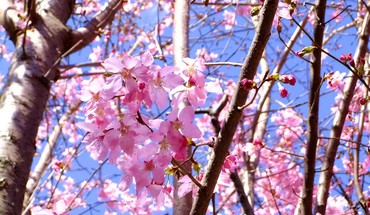 Nature cherry blossoms flowers spring branches pink HD wallpaper