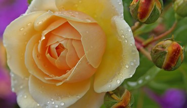 Flowers roses yellow rose HD wallpaper