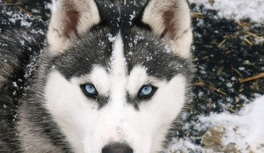 animaux husky de Sibérie  HD wallpaper