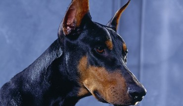 Animals dogs doberman HD wallpaper
