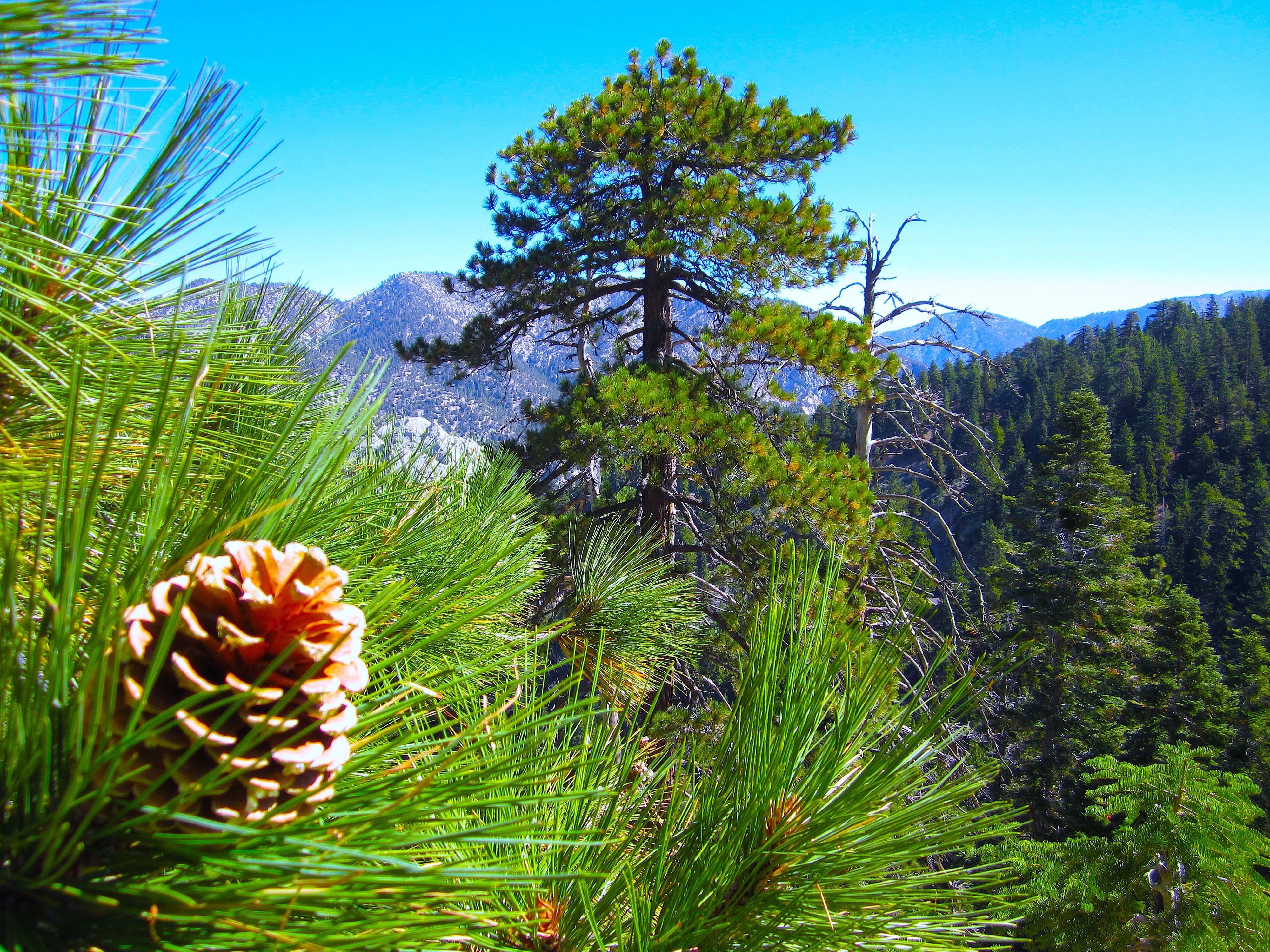 Pine cone and trees on a mountain side wallpaper - Pine tree wallpaper iphone ...