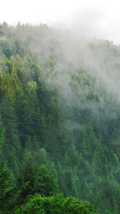 Fog over a pine forest wallpaper 9567 - Pine tree wallpaper iphone ...