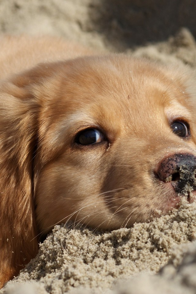 Sand Animals Dogs Puppies Golden Retriever Wallpaper Allwallpaper