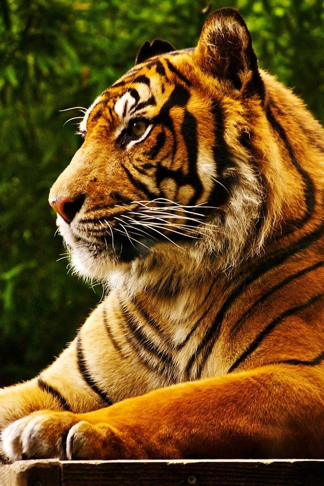 Animals Feline Forests Tigers Wallpaper