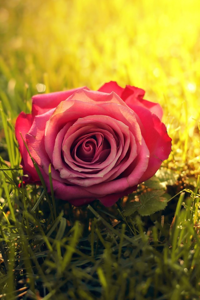 Nature flowers grass sunlight roses pink rose wallpaper ...