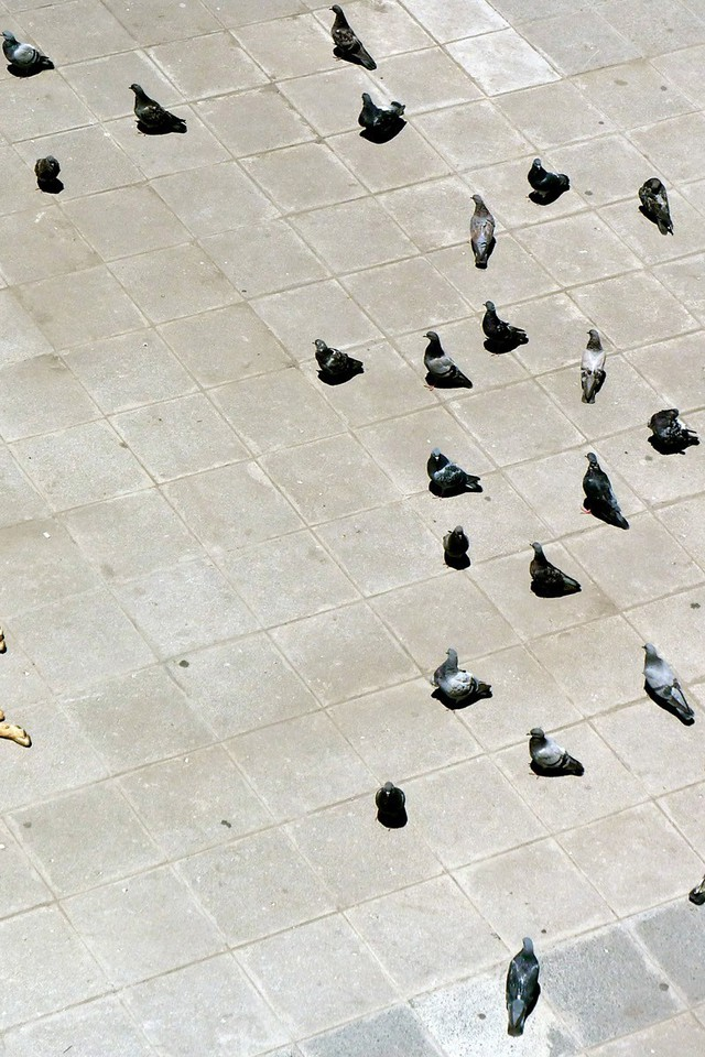 National Geographic Pigeons Lying Down Courtyard Birds Wallpaper
