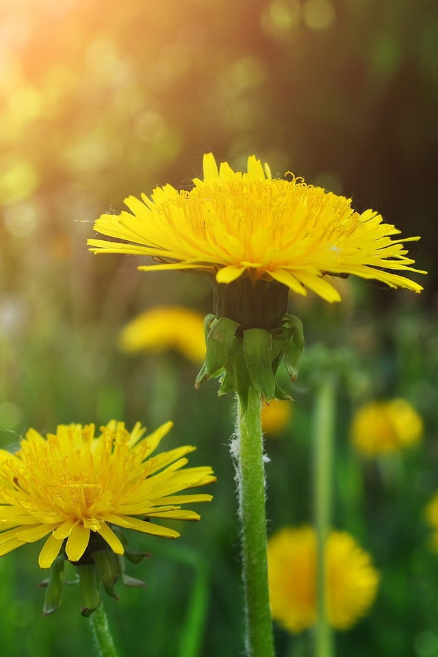 Nature Flowers Dandelions Wallpaper Allwallpaper In 15113 Pc En