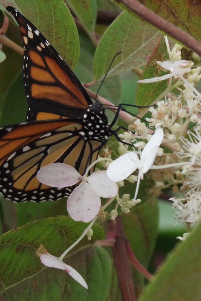 Monarch Butterfly Perched On White Flower Wallpaper Allwallpaper