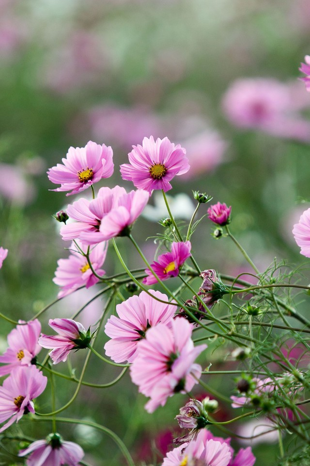 Cosmos Flower Flowers Landscapes Macro Nature Wallpaper