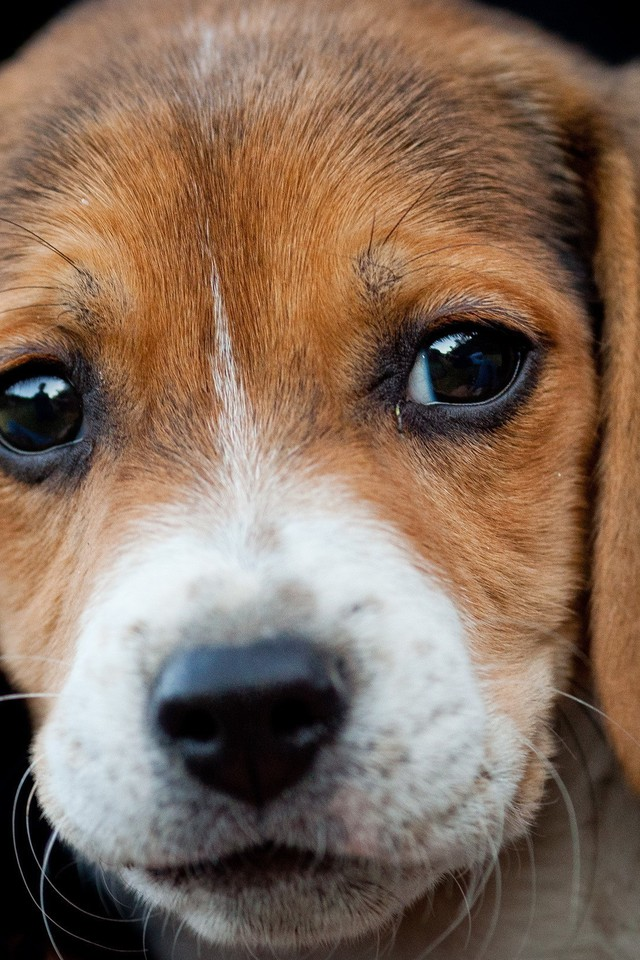 Dogs And Puppies Wallpaper Animals beagle dogs pu...