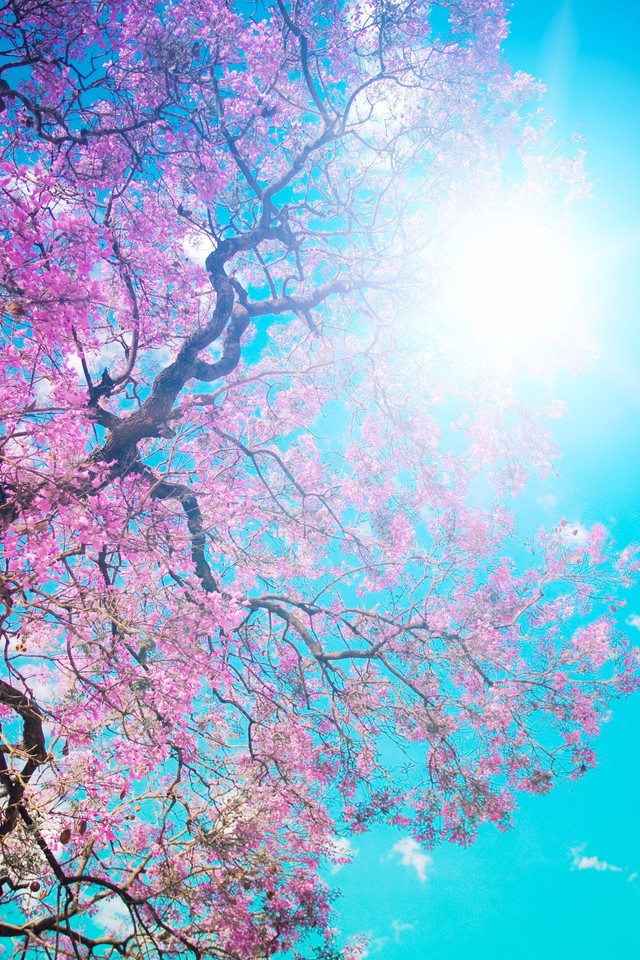 Blossom Sun Leaves Pink Trees Wallpaper Allwallpaper In