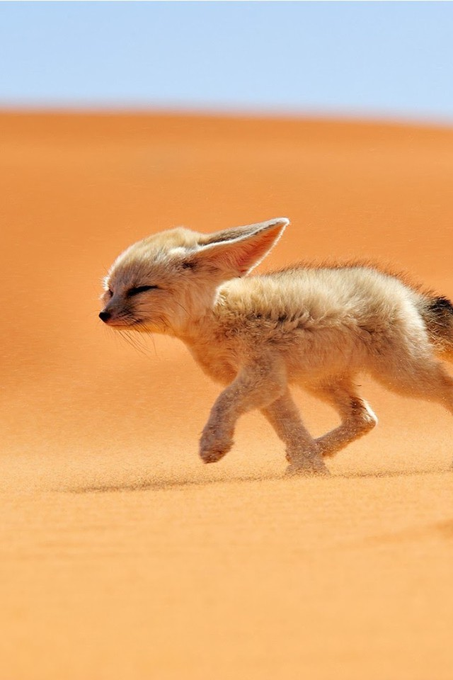 Sand Animals Desert Fennec Fox Foxes Wallpaper