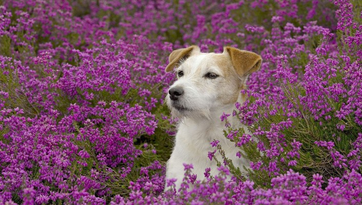 Animals dogs meadows purple flowers wallpaper
