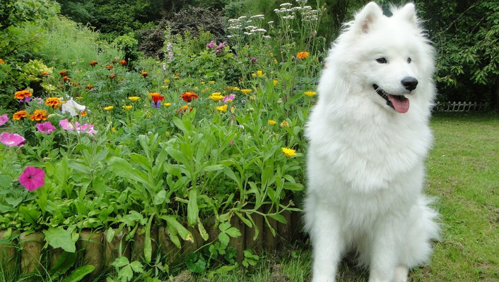 Samoyed dogs flowers garden wallpaper