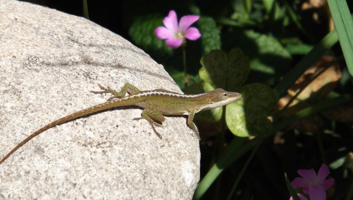 Lizard on rock wallpaper