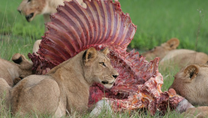 Animals meat feline lions hunting eating wallpaper