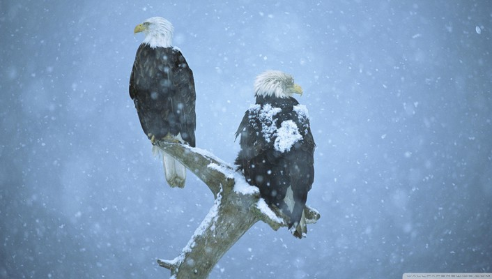 Bold eagles in a snow storm alaska wallpaper