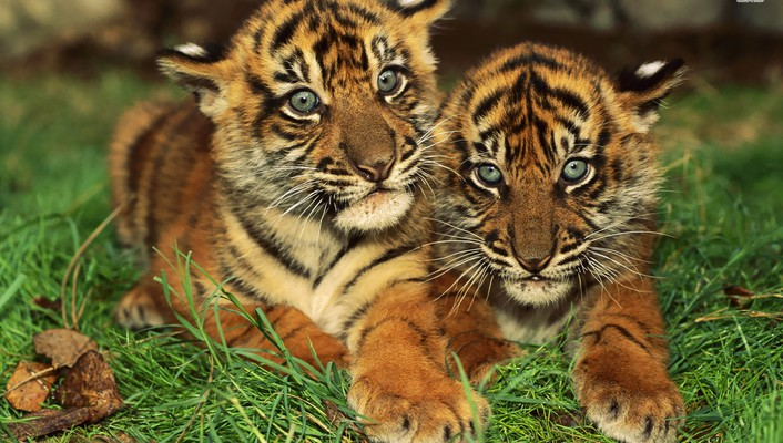 Animals tigers cubs bengal baby wallpaper