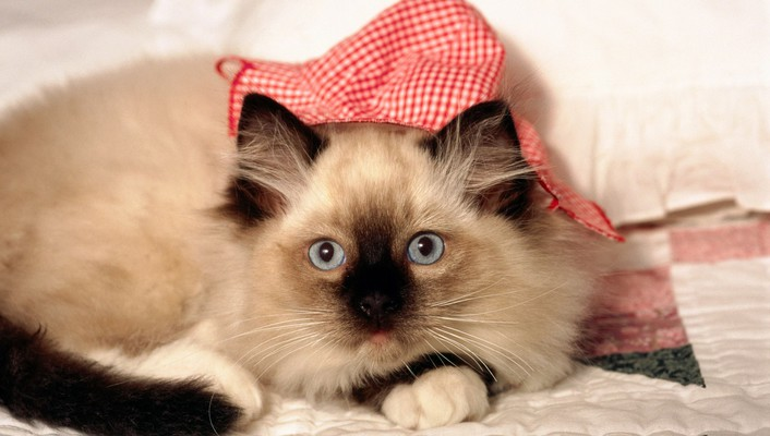 A siamese cat with hat wallpaper