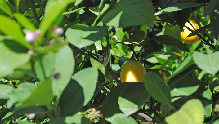 Flowers leaves depth of field lemons bud wallpaper