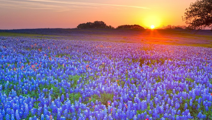 Sunset landscapes fields texas bluebonnet wallpaper