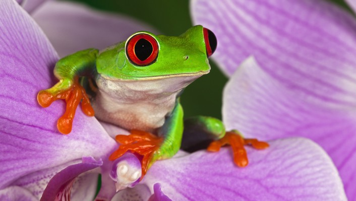 Flowers frogs red-eyed tree frog amphibians wallpaper