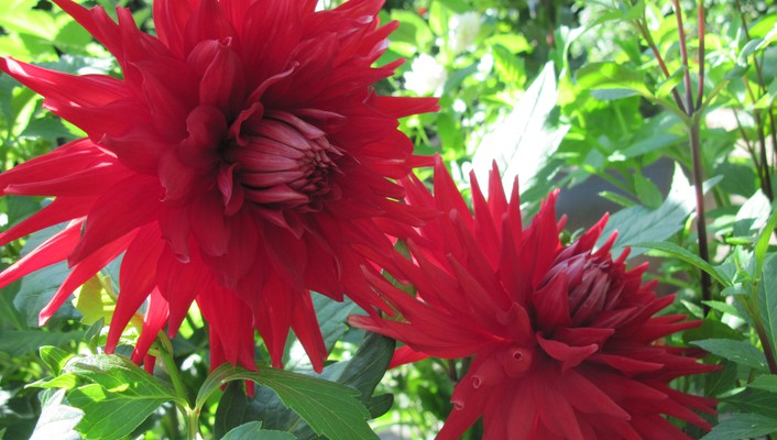 Twins red dahlia wallpaper