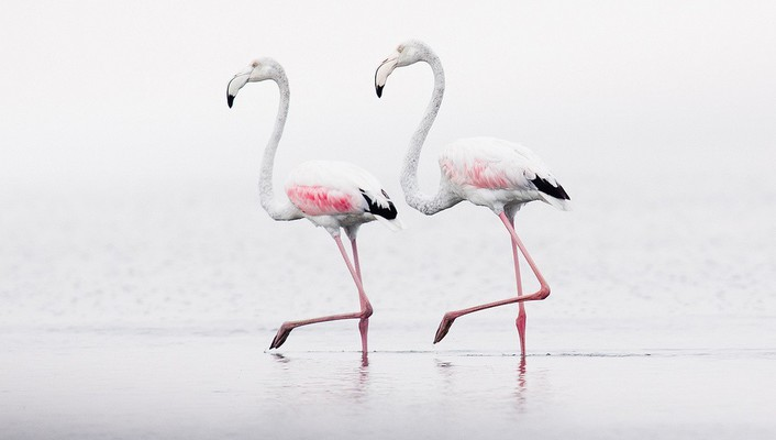 Birds flamingos wallpaper