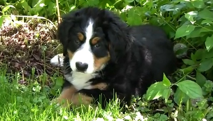 Berner sennenhund puppy wallpaper