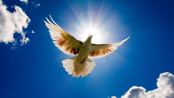 Dove bird sky wallpaper