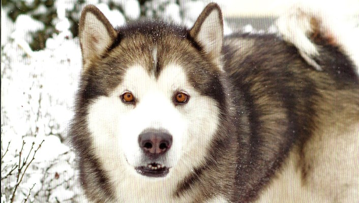 A husky dog in winter wallpaper