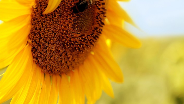 Bees flowers insects macro summer wallpaper
