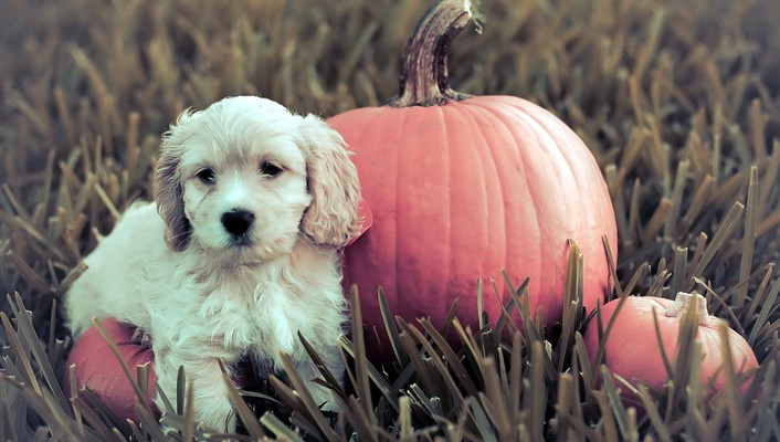 Dog with pumpkin wallpaper