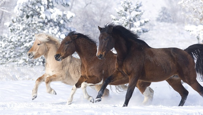 Snow animals norwegian horses colorado running wallpaper